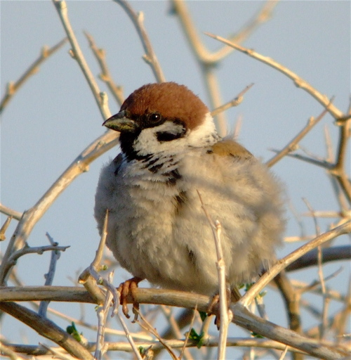 eurasian-tree-sparrow1
