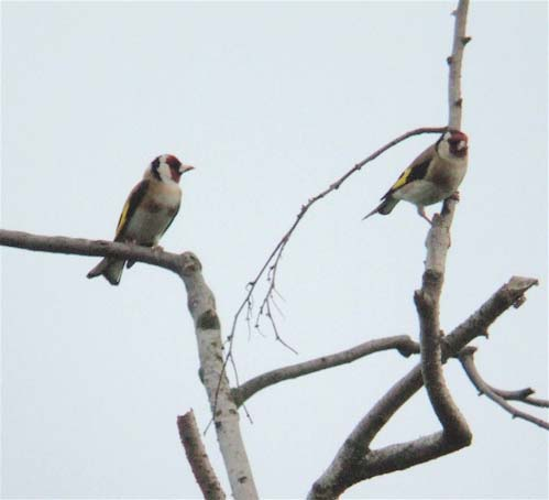 goldfinches2