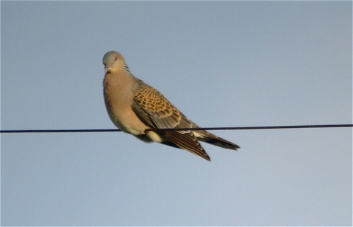 oriental-turtledove1