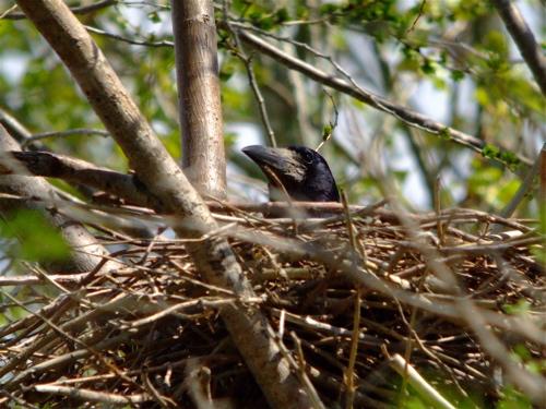 rook-nest