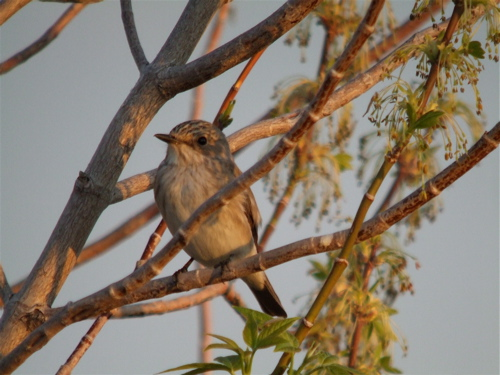 spotted-flycatcher1