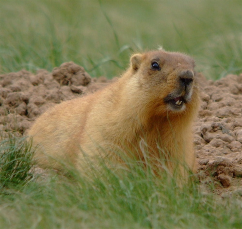 step-marmot