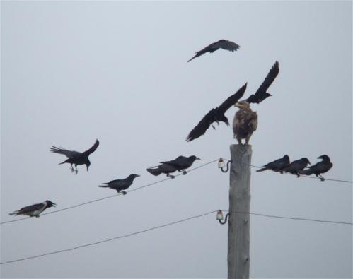 steppe-eagle1