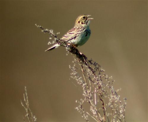 bairds-sparrow