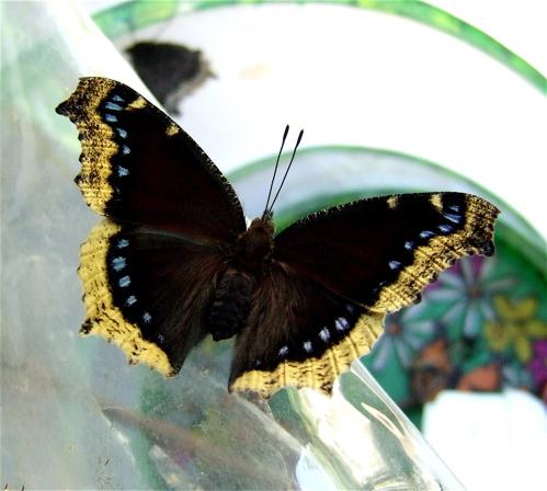 black butterfly yellow edge blue spots