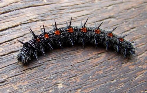 mourning cloak caterpillar