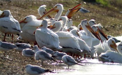 pelicans1