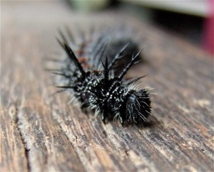 spiky caterpillar