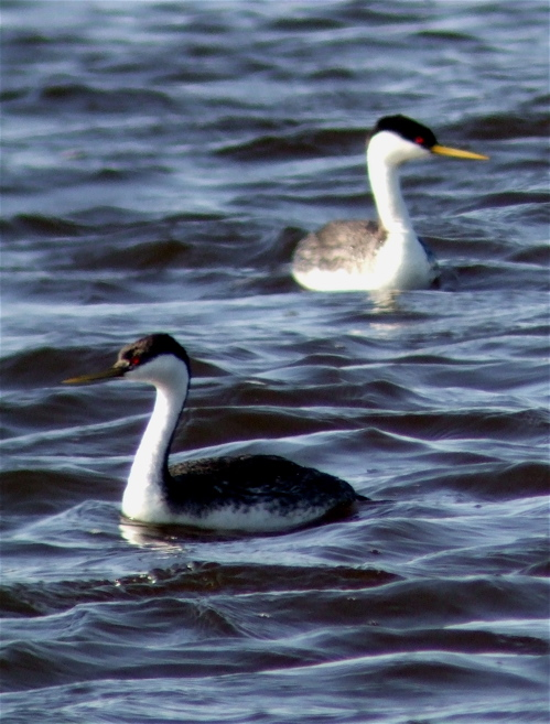 western-grebes1