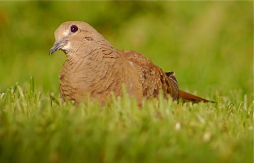 introspective mourning dove