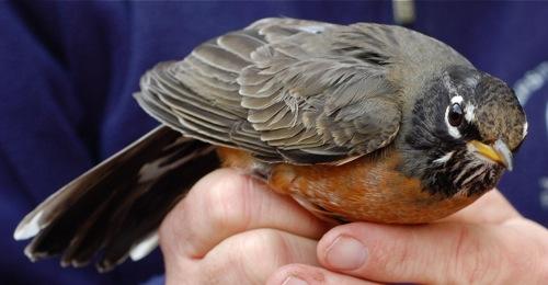 banding angry robin