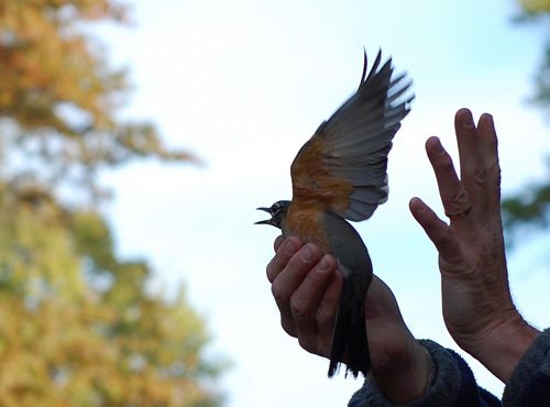 banding robin released