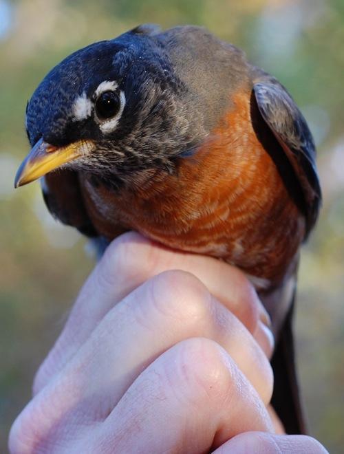 banding robin