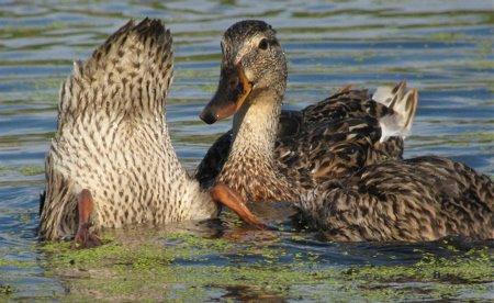 ducks2-749124