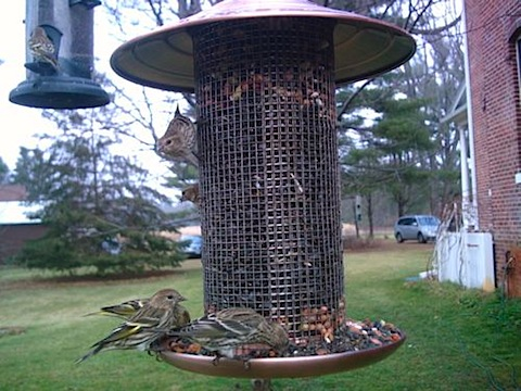 siskins on feeders.jpg
