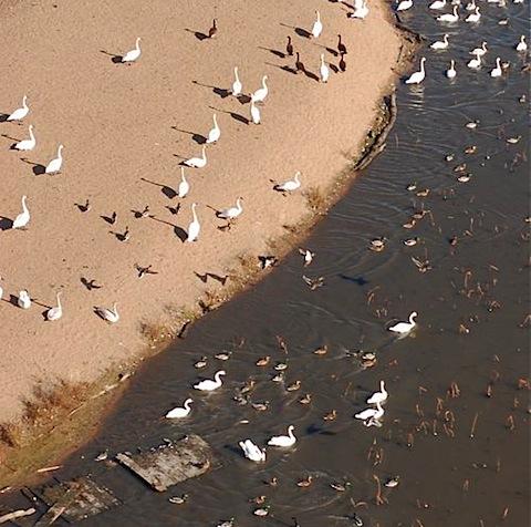swans ducks geese.jpg