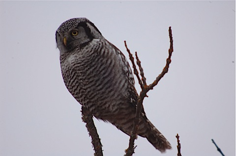 1 northern hawk owl.jpg