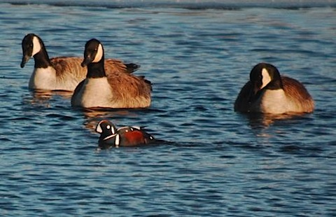 a harlequin duck mn.jpg