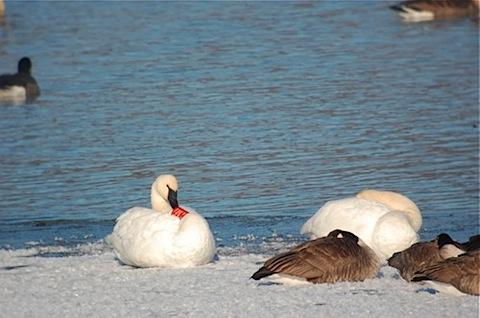 banded trumpeter swan preening.jpg
