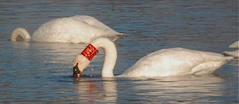 banded trumpeter swan.jpg