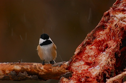 bloody chickadee.jpg