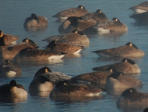 frosty canada geese.jpg