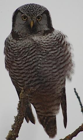 hawk owl3.jpg