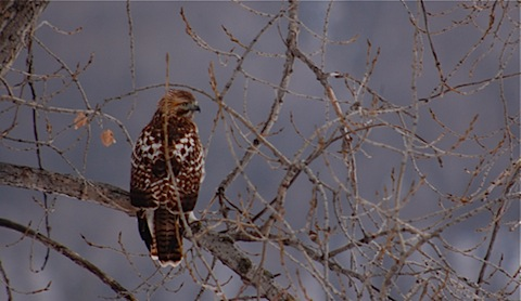 immy red-tail.jpg