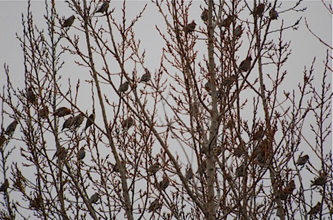 large flocks of bohemian waxwings.jpg