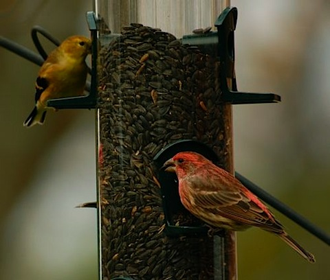 sunflower finches.jpg