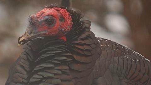 turkey red head.jpg