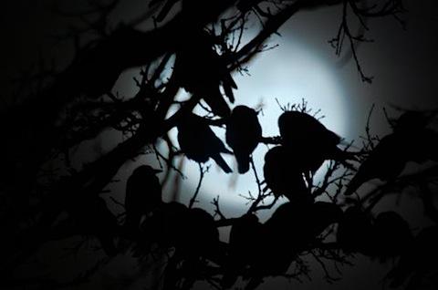 1 crow roost.jpg