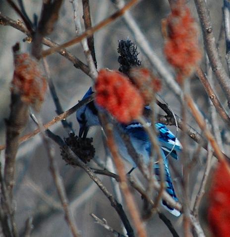 blue jay 1.jpg