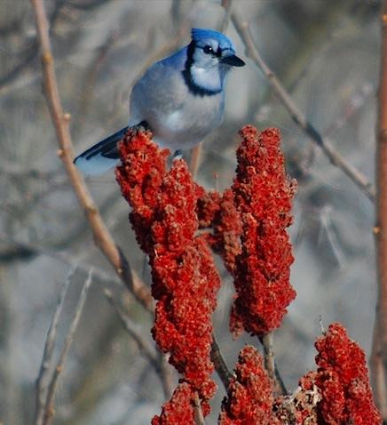 blue jay 4.jpg