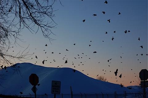 falling crows.jpg