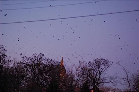 loring park crows.jpg