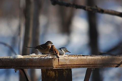 tree sparrows nuthatch.jpg
