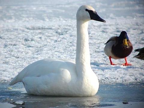 1 trumpeter swan.jpg
