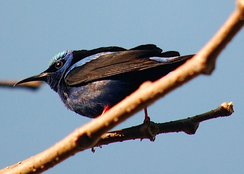 canopy lodge honeycreeper.jpg