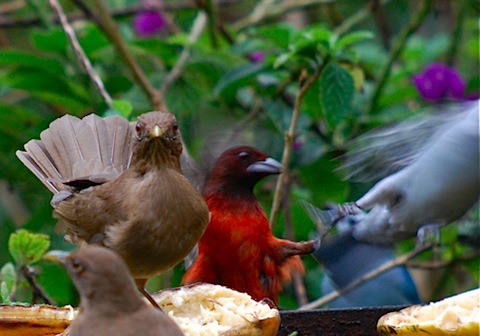 tanager fight.jpg