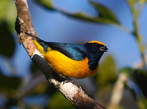 yellow something euphonia.jpg