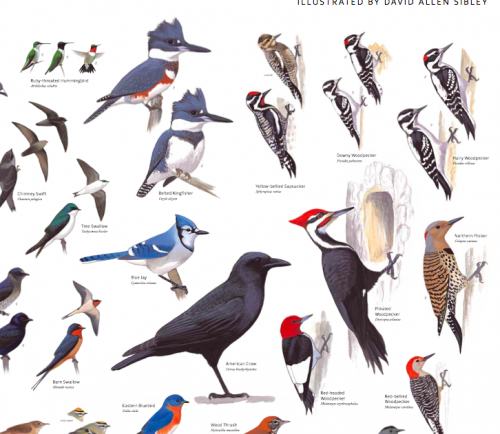 The poster does organize the birds ... - Have You Seen The Sibley Poster? — Birdchick