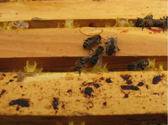 wpid-drinkingbees-2010-10-3-13-061.jpg