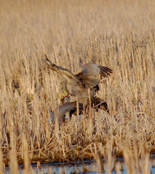 sandhill crane sex