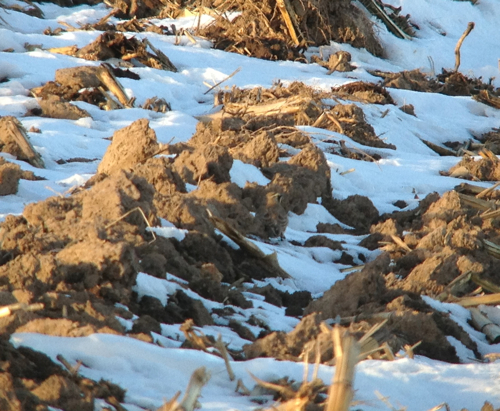 Hidden Horned Lark