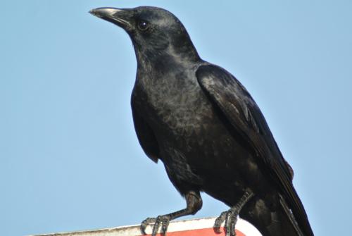 corvid