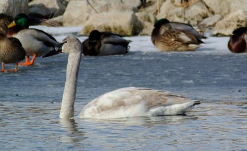trumpeter swan juvenile