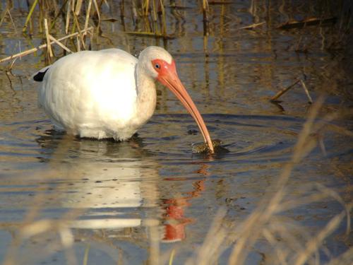 white ibis iphone