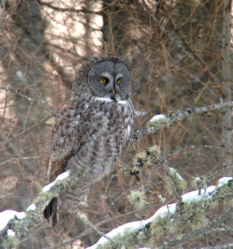 Great Gray Owl iPhone