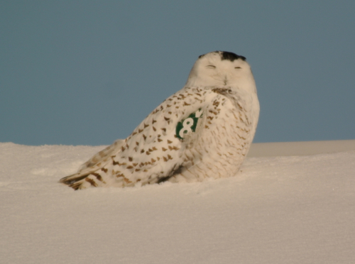 Hitler the Snowy Owl